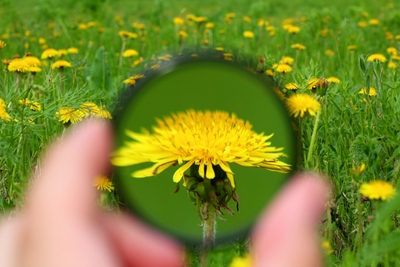 looking through magnifier on dandelion